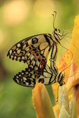 Lime Butterfly butterflies (Papilio demoleus) mating on yellow flowers — Stock Photo