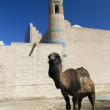 Camel in fron of wall — Stock Photo #11828750