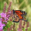 Monarch Butterfly on Purple Loosestrife — Stock Photo