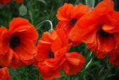 Double Poppies — Stock Photo