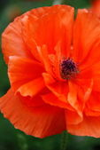 Double Poppy, Closeup — Stock Photo
