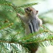 "Stock Photo: ""Hang in there!"" chipmunk hanging on a branch"