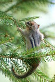 """Hang in there!"" chipmunk hanging on a branch — Stock Photo"
