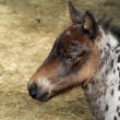 Stock Photo: Spotted pony