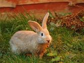 Red rabbit — Stock Photo