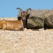 Stock Photo: Nubiibex