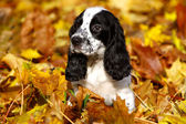 Black and white puppy of Russian spaniel in autumn leaves — Stock Photo
