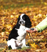 Puppy of Russian spaniel — Stock Photo