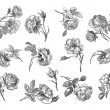 Old roses illustration — Stock Photo #11936873
