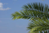Leaves of palm tree on sky background — Stock Photo
