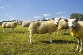 Flock of sheep standing in a field — Stock Photo
