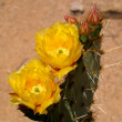 Stock Photo: Prickly Pear Cactus