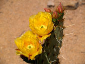 Prickly Pear Cactus — Stock Photo