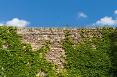 Old brick wall entwined with ivy — Stock Photo
