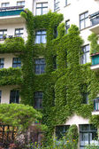 Windows with ivy — Stock Photo