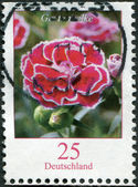 GERMANY - CIRCA 2008: A stamp printed in Germany, shows a flower, Dianthus caryophyllus (Clove Pink), circa 2008 — Stockfoto