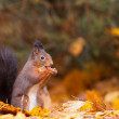 Red Squirrel in the forest eating a peanut -  