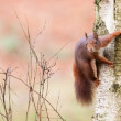Red squirrel in a tree — Stock Photo