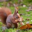 Red Squirrel in the forest eating a peanut - Stock Photo