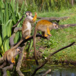 Common squirrel monkey s — Stock Photo #11949340