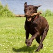 Brown labrador running with stick — Stock Photo #11949427