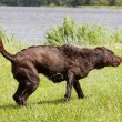 Very wet Brown labrador is shaking off excess water from his fur - Stock Photo