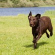 Brown labrador running - Stock Photo