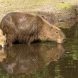 Capybara mother and cub drinking — Stock Photo #11949462