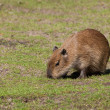 Capybarcub — Stock Photo #11949477