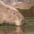 Capybara drinking — Stock Photo #11949497