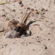House sparrow taking a sand bath - Stock Photo