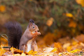 Red Squirrel in the forest eating a peanut — Stock Photo