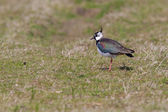 Lapwing in a field — Stock Photo