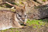 A sleeping parma wallaby — Stock Photo