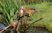 Common squirrel monkey s — Stock Photo
