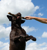 Dog jumps to grab a stick — Stock Photo