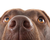 Brown labrador nose close-up — Stock Photo