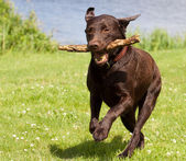 Brown labrador running with a stick — Stock Photo