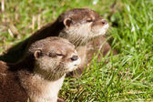 Two Oriental Small-Clawed Otters resting — Stock Photo