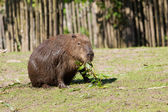 Capybara foraging — Stock Photo