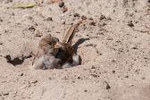 House sparrow taking a sand bath — Stock Photo