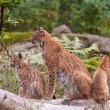Foto de Stock  : Eurasilynx (Lynx lynx) with cubs