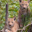 Stock Photo: Two lynx cubs