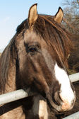 Portrait of a brown horse — Stockfoto