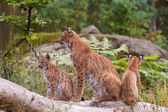 Eurasian lynx (Lynx lynx) with cubs — Stock Photo