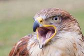Portrait of a Long-legged Buzzard with open beak — Stock Photo