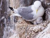 Kittiwaková na hnízdo s kuřátka a vejce — Stock fotografie