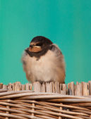 Young barn swallow — Stock Photo