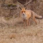 A fox (vulpes vulpes) in its natural habitat — Stock Photo