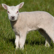 Little lamb in a field — Stock Photo
